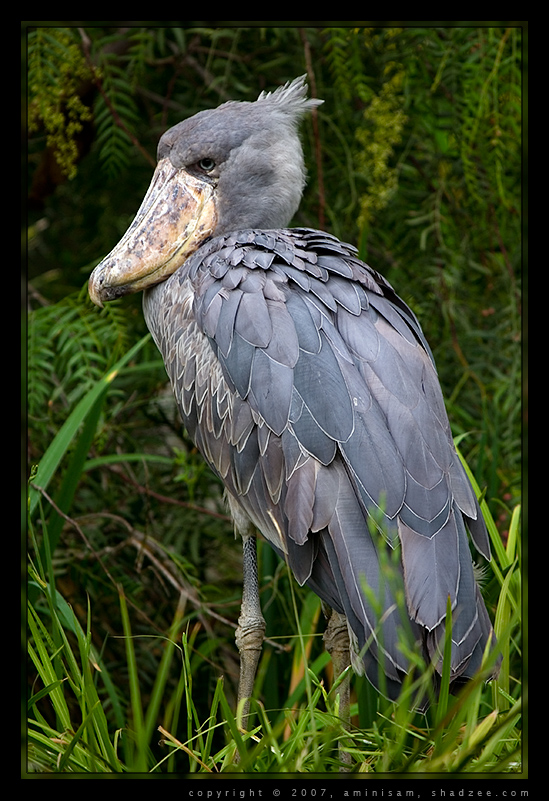ShadZee Photography - Shoebill Stork: shadzee.com/photoblog/index.php?showimage=87